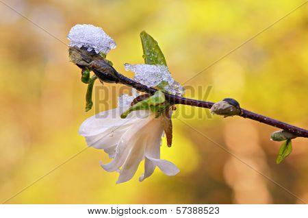 Magnolia Under Ice