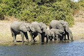 Elephants drinking from the river in Chobe NP, Botswana poster