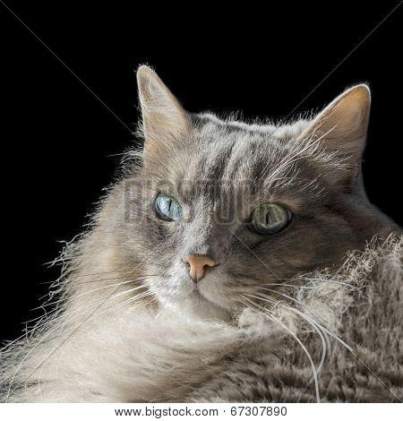 Angora Siberian male cat with odd eyes, isolated, black background