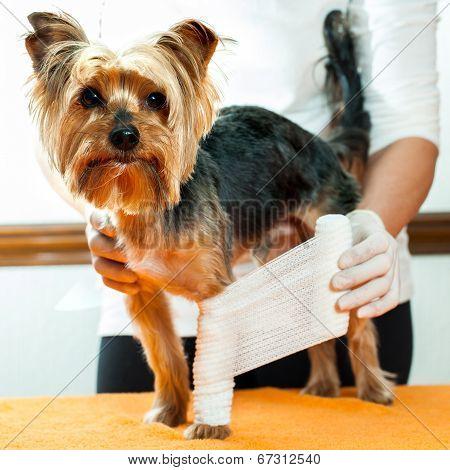 Vet Binding Up Dogs Leg.