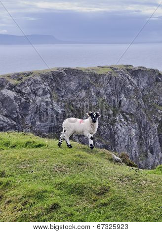 The Black Face Mountain Sheep