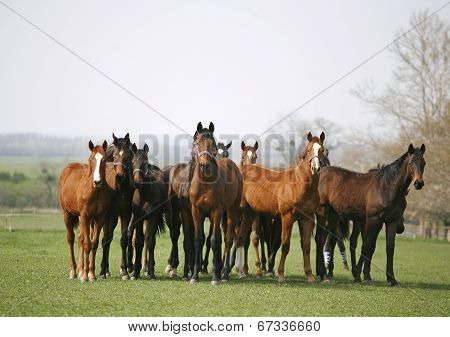 Purebred racing horses on the meadow