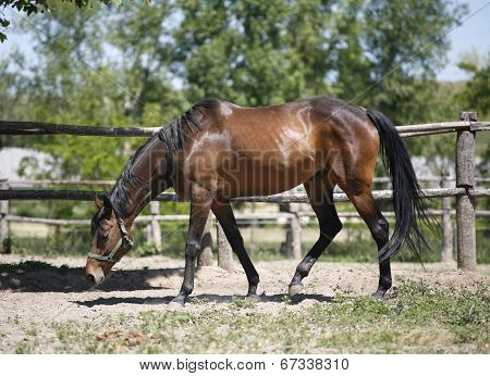 Thoroughbred bay horse grazing in corral ranch scene. Purebred horse on nature background in a sunshine day poster