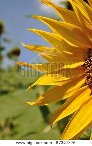 Sunflower And Fuzz