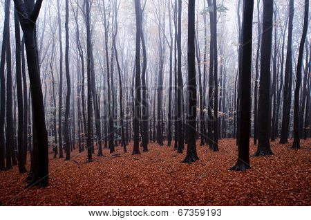 Autumn in a forest with frost and fog trough the trees