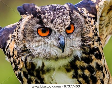 Eagle Owl closeup