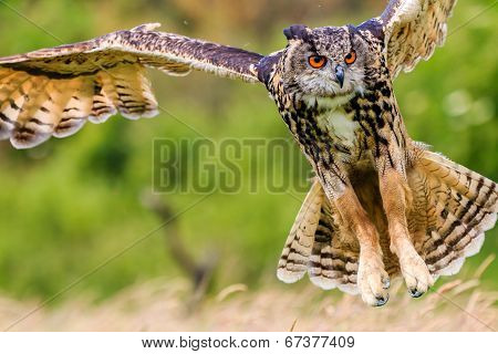Eagle Owl swooping low