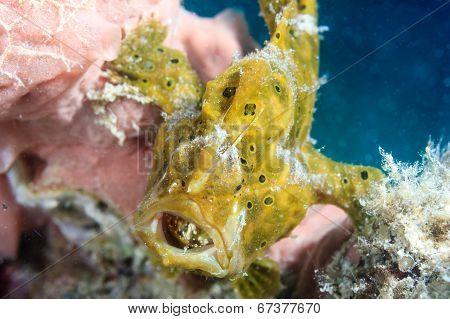 Small green frogfish