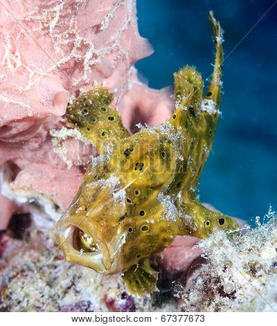 Angry Little Frogfish