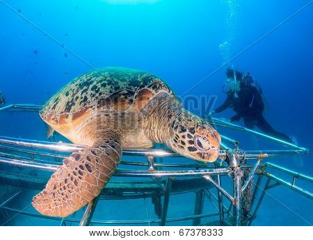 Green Turtle On Awas, Mabul