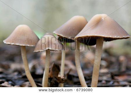Mushroom Canapy