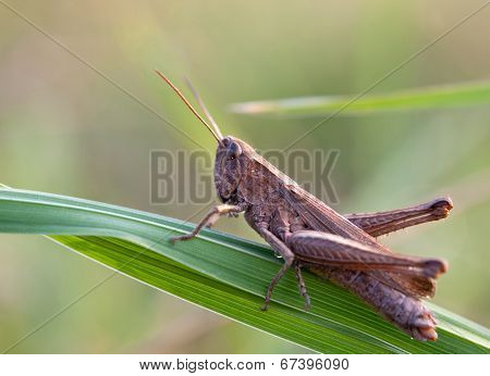 Grasshopper On Leaf