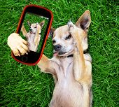 a cute chihuahua in the grass taking a selfie on a cell phone cell phone poster