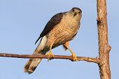 Coopers Hawk (Accipiter cooperii) in a tree with a blue background poster