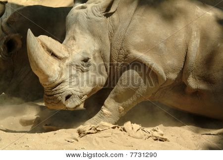 Big and strong white rhinoceros with suspicious eyes poster