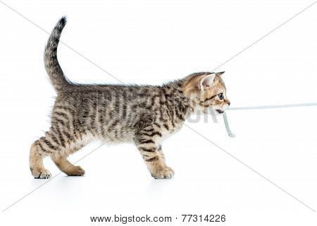 playful kitten cat pulls cord isolated on white