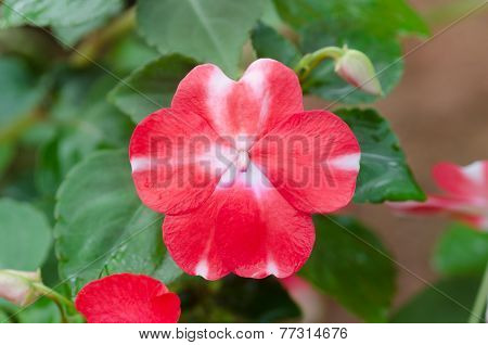 close up of red Impatiens flower blooming in garden