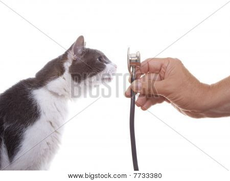 Cat Examining A Stethoscope
