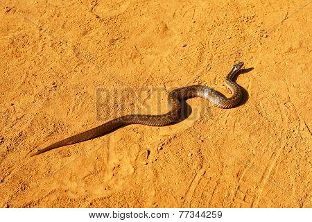Snake in the desert