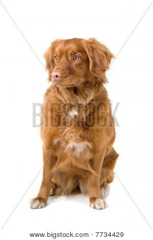 Nova Scotia Duck-Tolling Retriever dog
