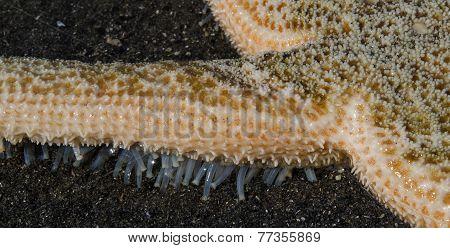 Sea Star Fingers
