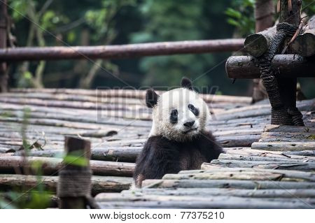 Panda in the forest and tropical Asia.