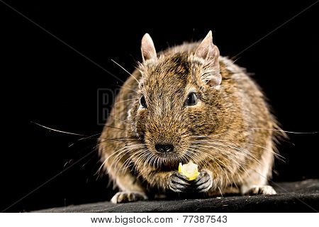 Small Rodent With Piece Of Food In Paws