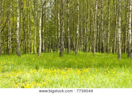 Birch Grove And Dandelions