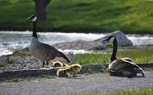 Family of Canadian Geese relaxing by the pond poster