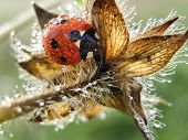 Ladybug in water drop at earley morning poster