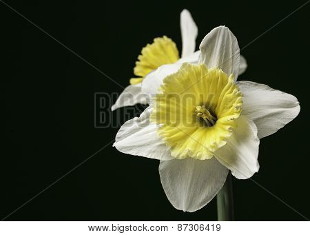 A pair of yellow and white daffodils isolated