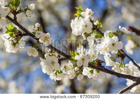 Flowers Of Apple Tree In Sunlight
