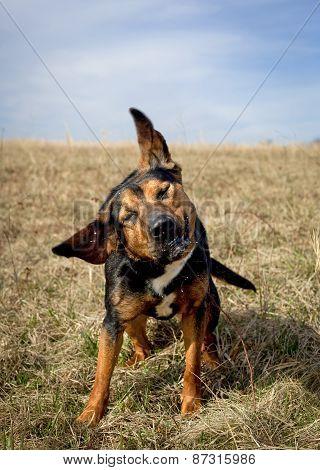 Silly black dog shaking head