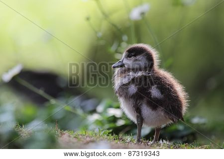 Chick Of An Egyptian Goose (alopochen Aegyptiacus)
