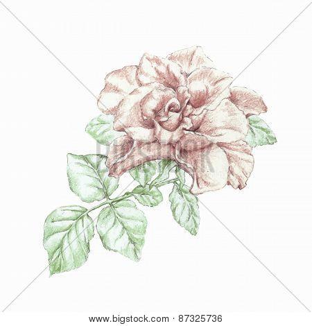 Vector Hand Drawn Pencils Rose