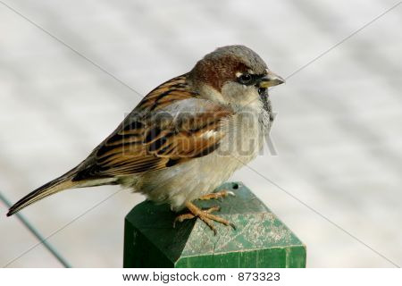Male Of House Sparrow