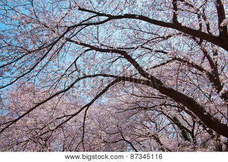 Old someiyoshino cherry tree (Cerasus x yedoensis) in full bloom