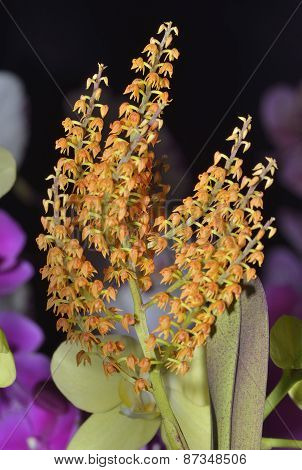 Paniculate Polystachya Orchid