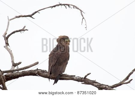 Brown Snake Eagle On A Tree