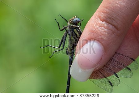 Midland Clubtail Dragonfly being held for inspection. poster