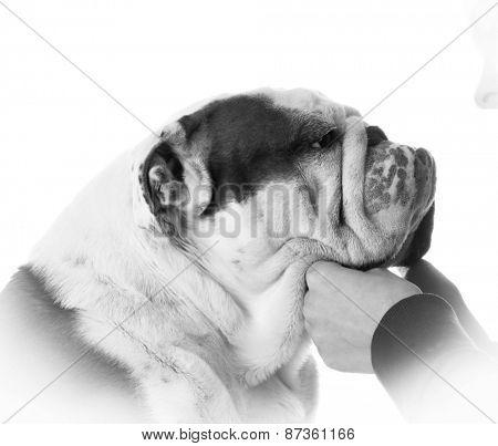 man's best friend - woman holding bulldogs face on white background