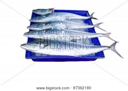 Fresh king mackerel fish on ice backet isolated on white background