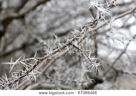 Spinous Frost On The Branch