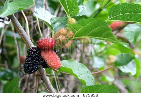 Mullberries On A Vine