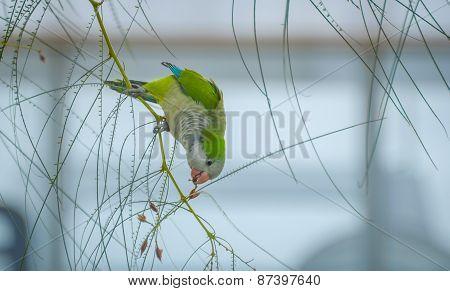 Barcelona Monk Parakeet collecting seeds.