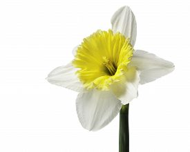 White and Yellow Daffodil Isolated