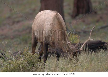 Buck Elk