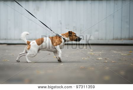 Dog Pulling The Leash On A Walk