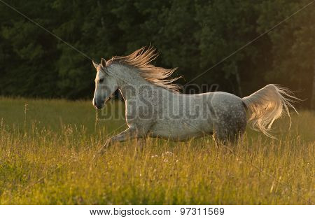 Beautiful Arabian Horse