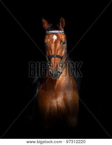 Sport Dressage Horse